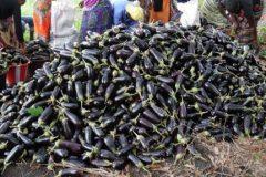 Record-Aubergine-harvest